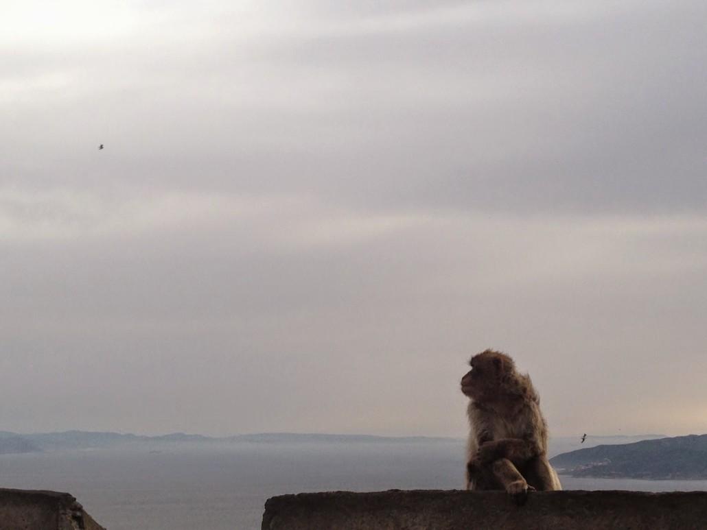 scimmia gibilterra